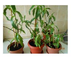 Продаю целебное растение Золотой Ус