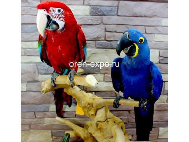 Попугаи - ручные птенцы из питомника - 1