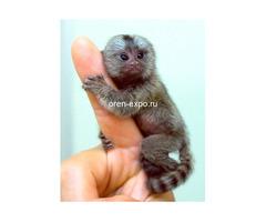 Продам самую маленькую обезьянку в мире обезьянку мармозетку