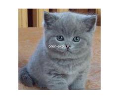 Продам дешево британского котенка
