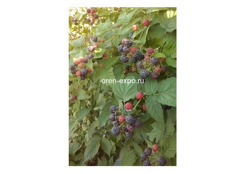 Малина кумберленд черноплодная