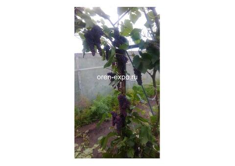 Чубуки винограда 15 сортов